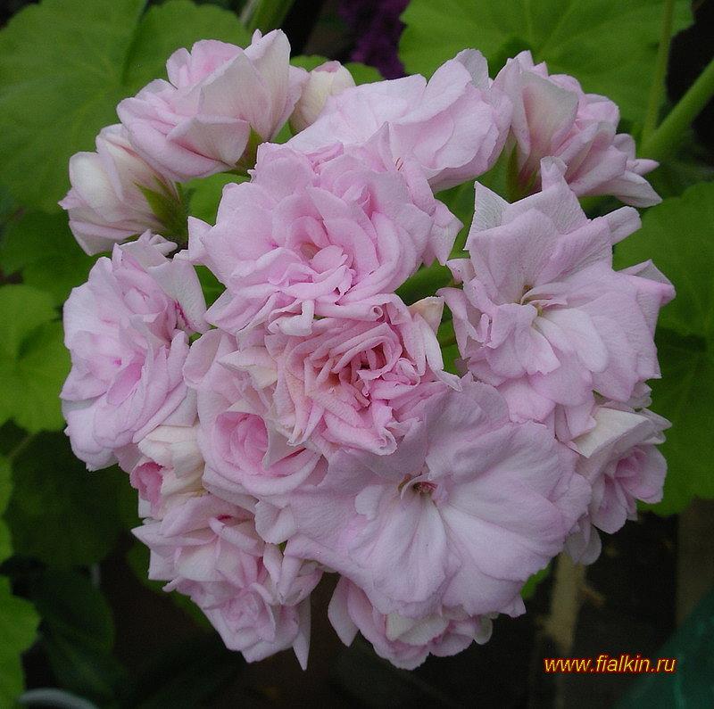 пеларгония millfield rose