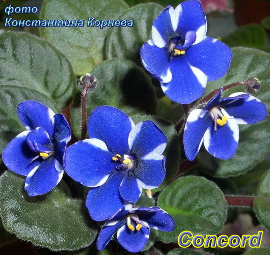 цветы фиалки картинки:
