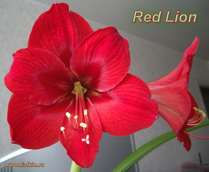 фото гиппеаструм красный