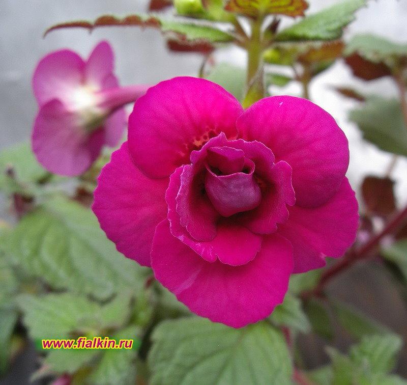 Кореопсис розовый отзывы фото