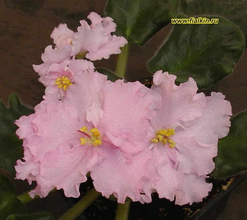 нежно розовая фиалка фото предложенному мастер-классу можно